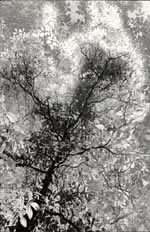Tree Transformation - negative developed in rodinal.